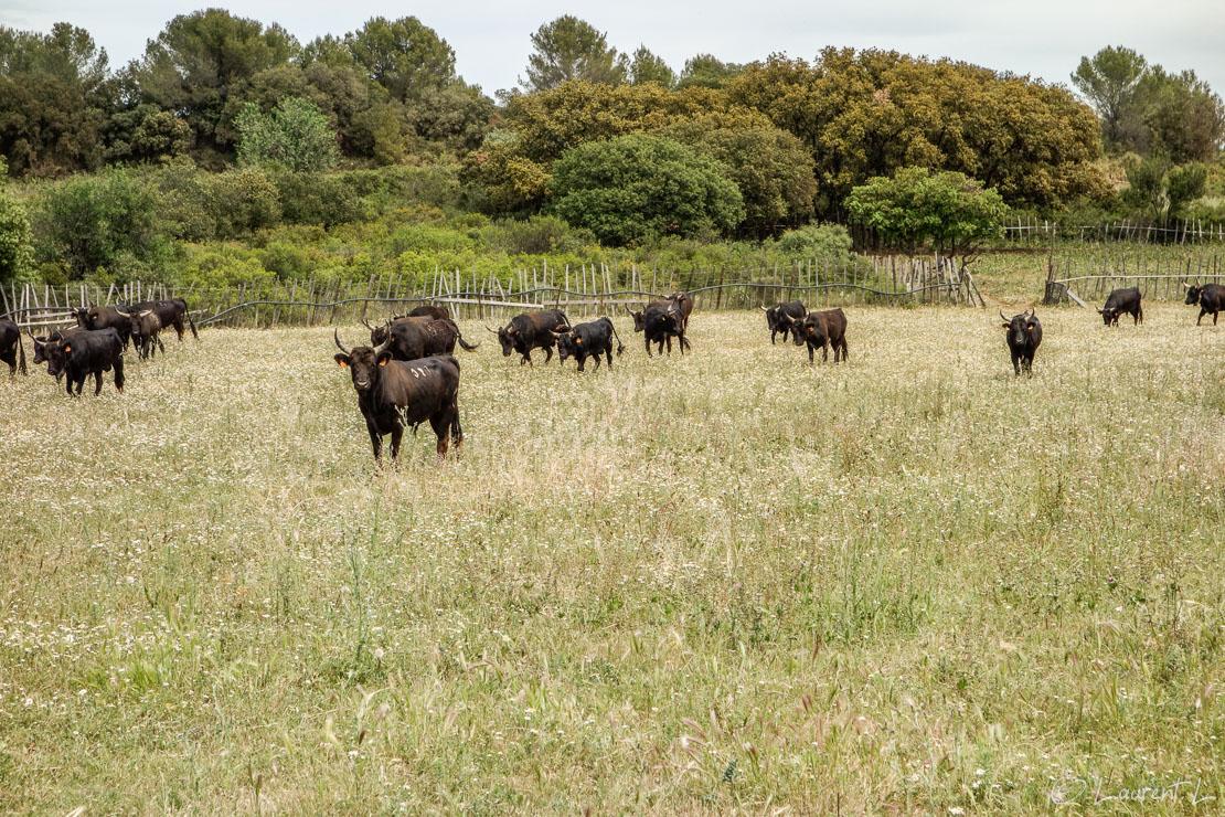08/05/2014 - 13:35  |  Etape 15 : Gallargues-le-Montueux ↔ Vendargues / Les Châtaigniers (26,3 kms)  |  L'après-midi, je marche avec trois pélerins. Nous abordons un troupeau de jeunes taureaux pas loin d'être menaçants. Même si une clôture de fils de fer barbelés nous sépare, nous ne nous attardons pas : je ne suis pas compétent en tauromachie... Plus loin, seul et à cours d'eau potable, je passe à côté d'un camp de gens du voyage. Hésitant, j'y entre et aperçois au milieu des caravanes stationnées à côté de l'autoroute, des enfants jouant dans une grande bassine d'eau et une mère adulte faisant la vaisselle. Je lui demande si il est possible de me ravitailler. Elle m'explique qu'elle n'a pas d'eau potable au robinet et m'offre une bouteille d'eau minérale sans hésiter. Je suis ravi... J'ai traversé deux camps de gens du voyage dans le Var et dans le Gard : à chaque fois, une majorité de personnes m'ont dit bonjour, cet accueil n'a pas été le même dans certains villages (pas tous) en Provence.